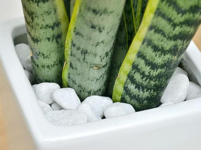 観葉植物 サンスベリア 陶器鉢植え 土の表面の拡大