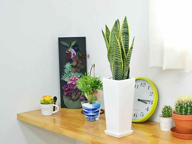 観葉植物 サンスベリア 陶器鉢植え 設置イメージ
