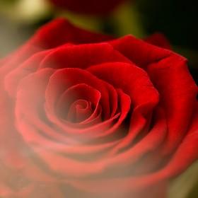 シンフォニー(赤バラ花束)