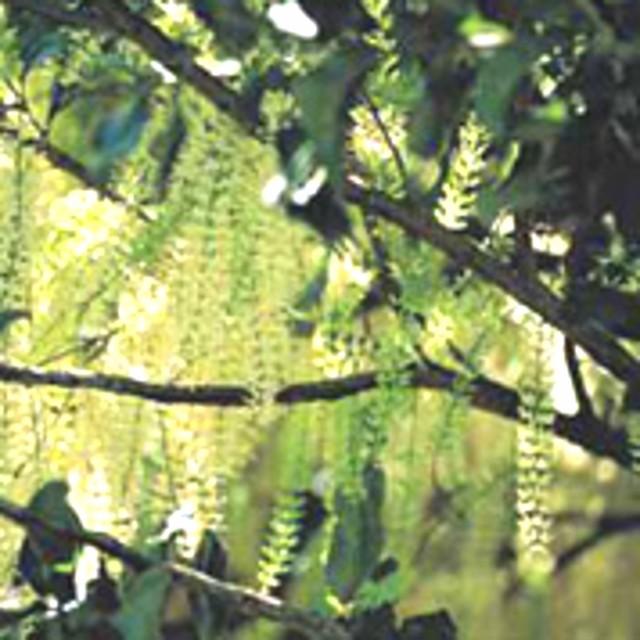 原産国オーストラリア ロースト殻付きマカデミアナッツ