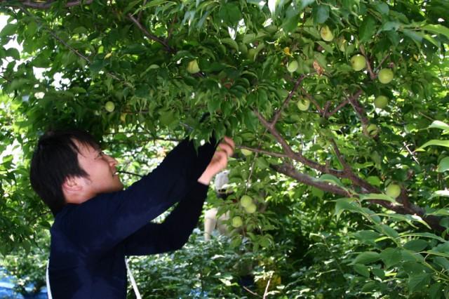 酒蔵・中野BCとの契約農家である山本譲氏の梅農園より減農薬栽培された南高梅を使用