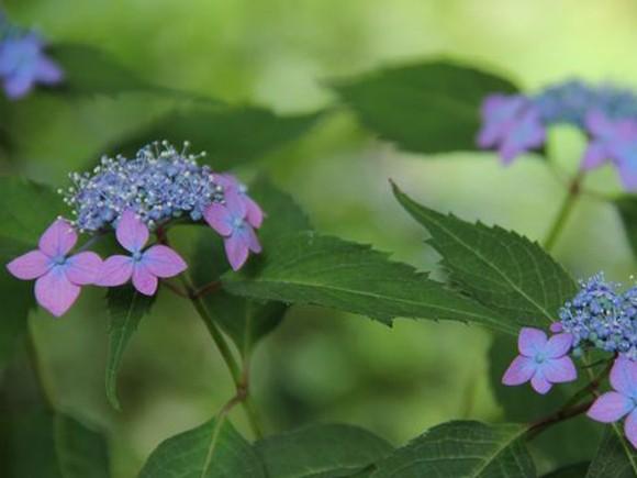 アジサイ 藍姫 白丸